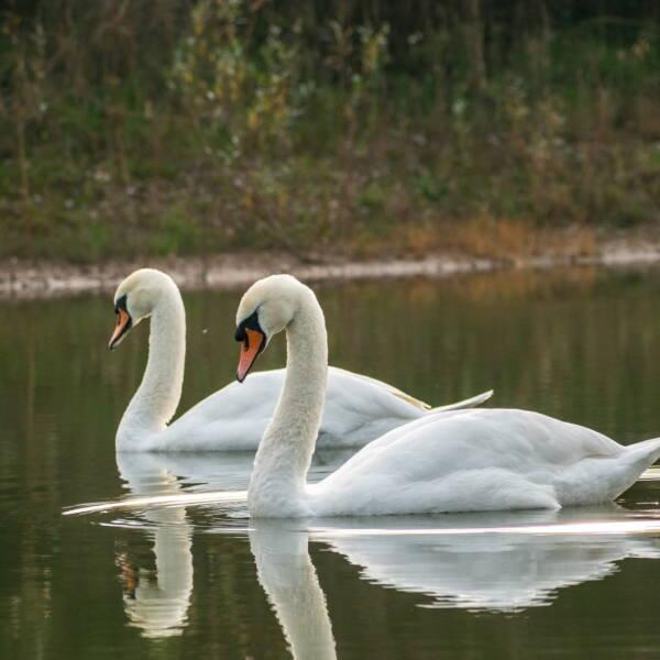Swans at Hilton Valley Development image